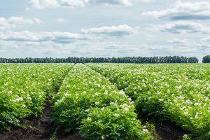 Отчет об эффективности регуляторов роста и удобрений Фитоферт Энерджи на овощах открытого грунта