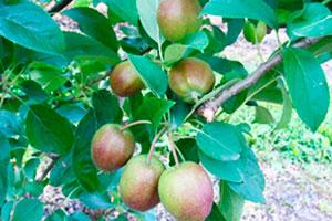 Применение регуляторов роста для прореживания и улучшения формы плодов