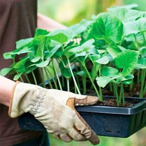 Фитогормоны и стимуляторы роста, применяемые при выращивании овощей