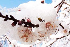 Чем опасны весенние заморозки для плодовых культур